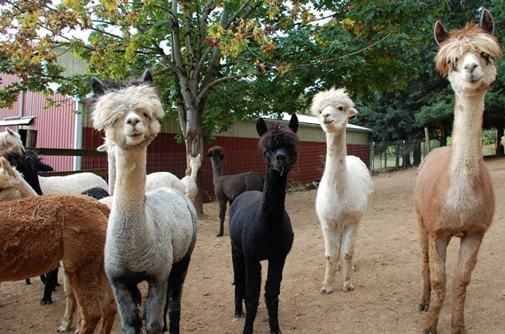 Alpaca of Oak Knoll Farms